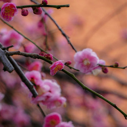 plumblossom pink spring photography nature