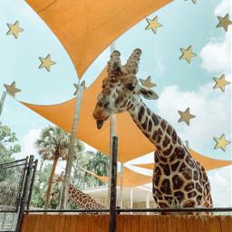 freetoedit giraffes
