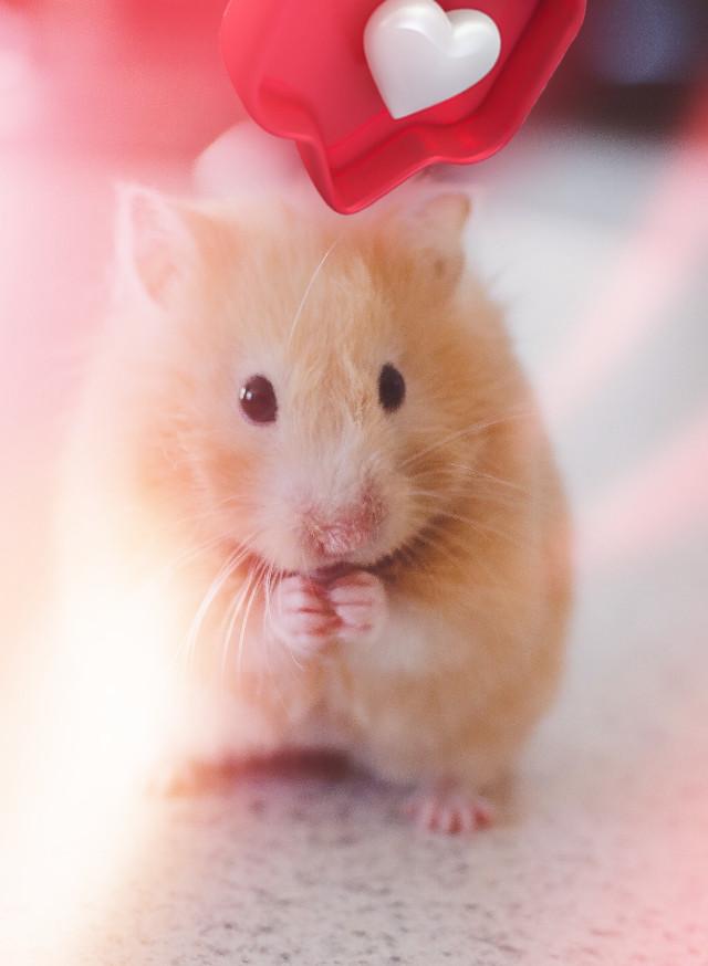 #freetoedit #hamster #heartbubble #cute