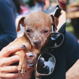 dogsofpicsart doglove retrat chihuahua chihuahualove