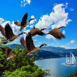 freetoedit geese sailboat