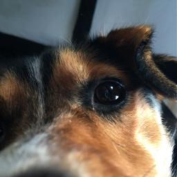 dogo dog doggie dogs dogsofpicsart freetoedit