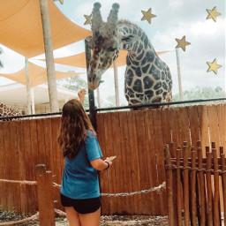 freetoedit giraffes gold stars