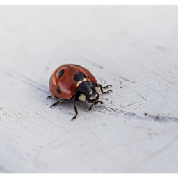 ladybug closeup insect nature freetoedit