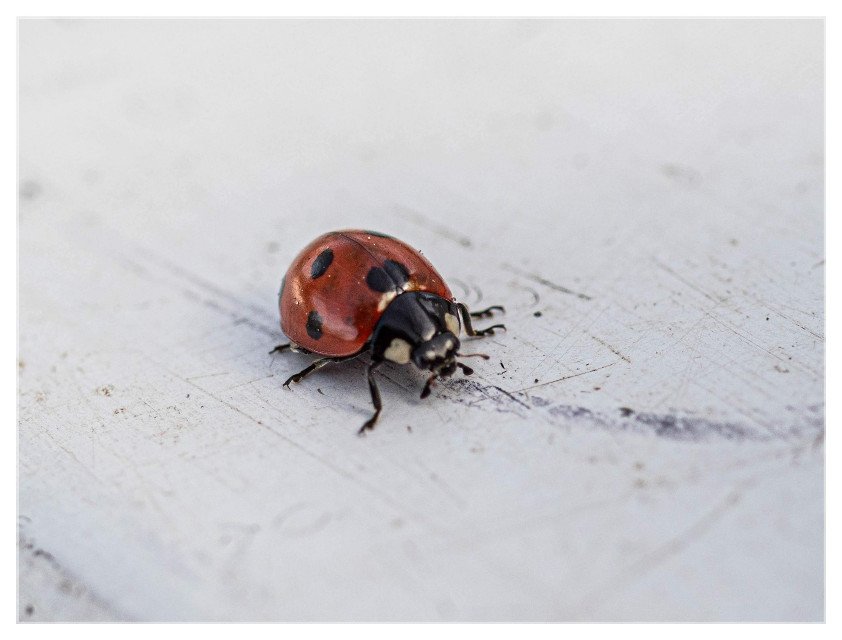 Ladybug in February - Can't remember I ever saw one so early! 😱  #ladybug #closeup #insect #nature  #freetoedit