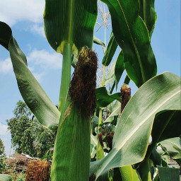 freetoedit cornfield plants green