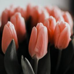 nature flowers beauty vintage picsart freetoedit tulipanes