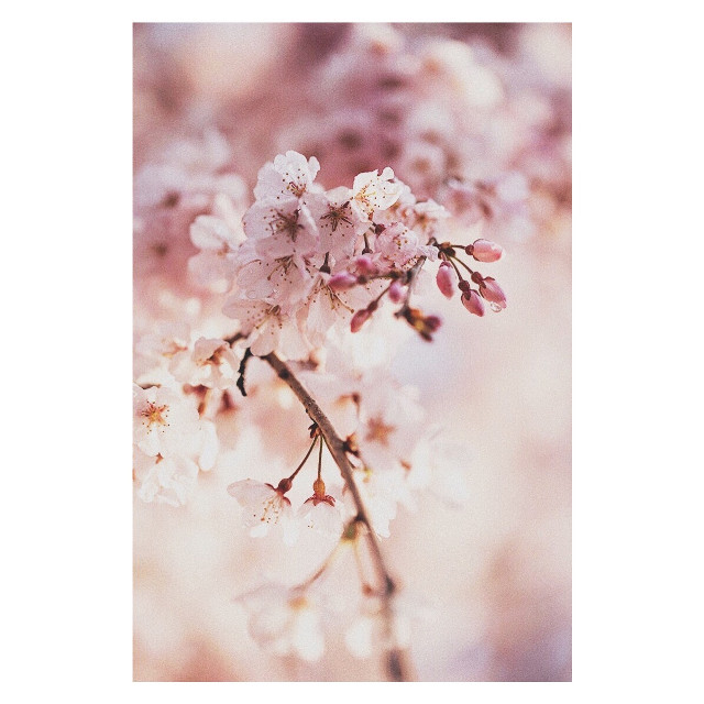 #freetoedit #cherryblossoms #spring