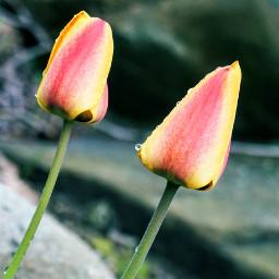 freetoedit outdoorphotography flowerphotography