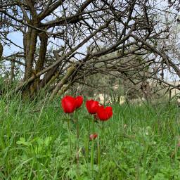 poppy كاميرا_لمى springflowers springday spring