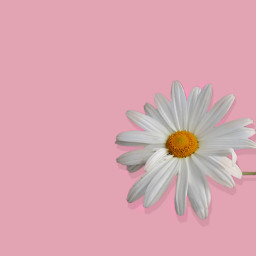 freetoedit pink daisy daisyflower springiscoming
