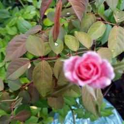 flor flower pink gota rain
