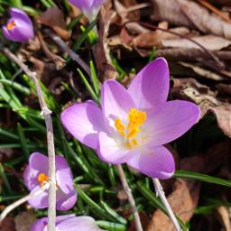 spring purple crocuses springflowers myphotography