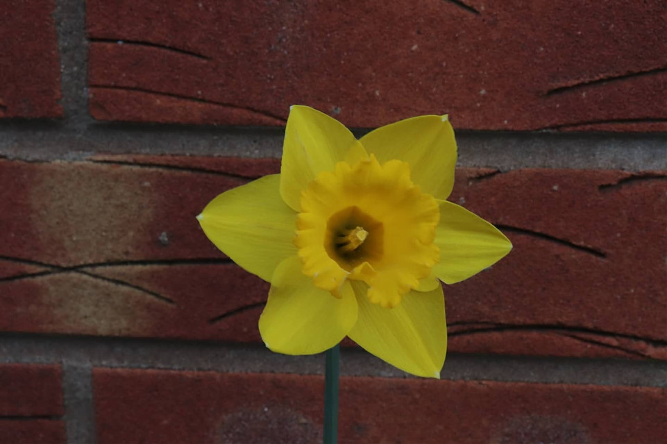 Just liked this daffodil against the brick wall #nature #brickwall #daffodil #flower #springhassprung  #freetoedit