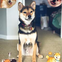 shibainu dogs japan dogedits shibainuedits freetoedit