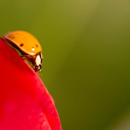 freetoedit photography ladybug closeup nature