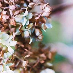 nature flowers hydrangeas softfocus bluredbackground freetoedit