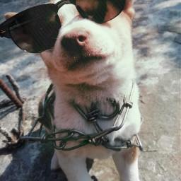 pet dog sunglass simpleedit creativity freetoedit pcpicsartpets picsartpets createfromhome stayinspired