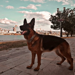 germanshepherd dog sky puppy river freetoedit pcpicsartpets picsartpets createfromhome stayinspired