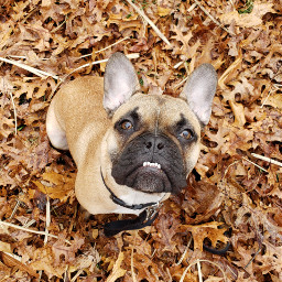frenchbulldog dog pets fall leaves freetoedit pcpicsartpets picsartpets createfromhome stayinspired