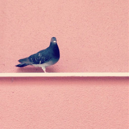pigeon housewall urbannature minimalphotography freetoedit