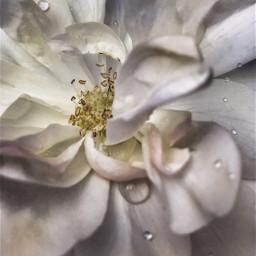 nature flower naturesbeauty waterdroplets closeupflower freetoedit
