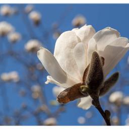 spring magnolia springtime flowerphotography springawakening freetoedit
