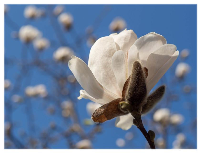 White Magnolia 😍😍😍  #spring #magnolia #springtime #flowerphotography #springawakening #nature  #freetoedit