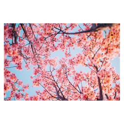 freetoedit cherryblossoms japan