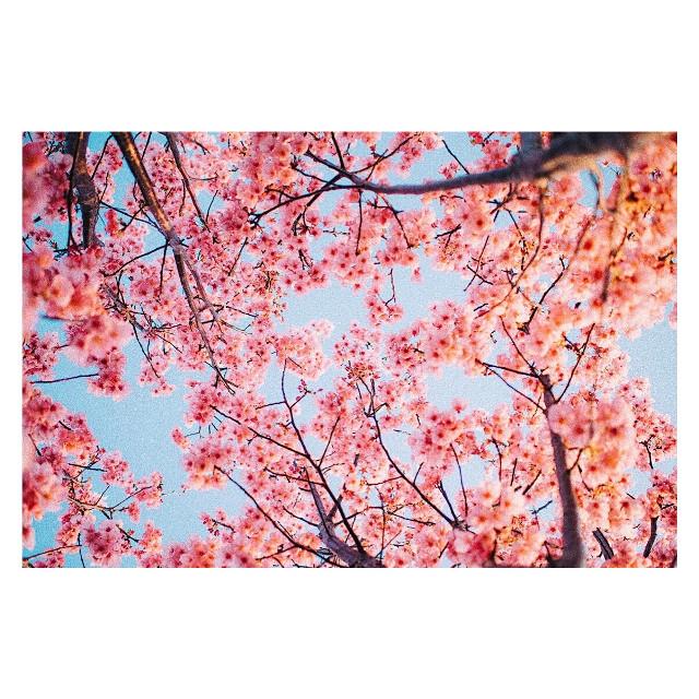 #freetoedit #cherryblossoms #japan