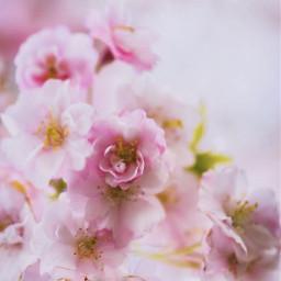 nature spring springtime flowers tree freetoedit