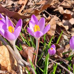 freetoedit purplecrocuses springtime sunlight nature