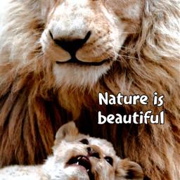 freetoedit nature animals lion wildanimal