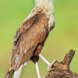 owl costarica raptor hawk bird