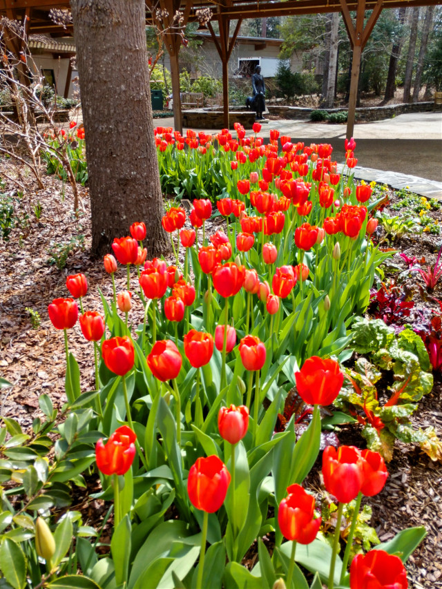 Beautiful Red Tulips - #freetoedit #stayinspired #tulips #red #spring #colorful #flowers #outdoors #nature #naturelover #sunnyday