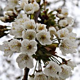 nature flower closeup blossoms lookingup freetoedit