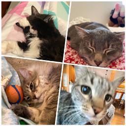 cats kittys sleeping mickey may freetoedit