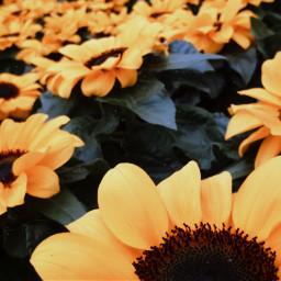 freetoedit sunflowers sunflower sunflowers🌻💛🌻 pcflowersnearyou flowersnearyou
