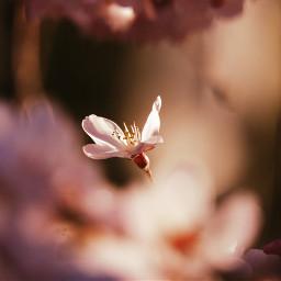spring cherryblossom pink japan nature