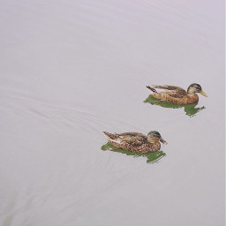nature minimalisminnature lake lakelife ducks freetoedit