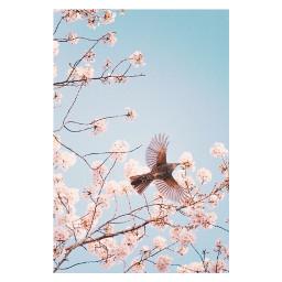 freetoedit cherryblossoms spring japan