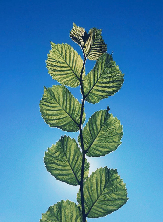 #pctwohues #minimalism #greenminimalism #nature #minimalisminnature #wildplant #branch #greenleaves #againstthelight #blueskybackground #blueandgreen                                                     the #colorsofourworld 🌎🌏🌍                                                                                                                     #enjoythelittlethings #simplicity #naturephotography                                                                                                                                                                 #freetoedit