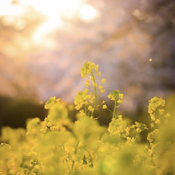 nature countryside fieldofflowers yellowflowers wildflowers freetoedit