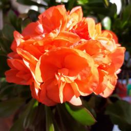 geraniums geranio orange naturephotography naranja