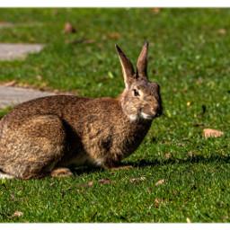 rabbit bunny myberlin animal freetoedit