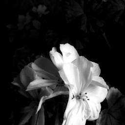 blackandwhite flower lowkey