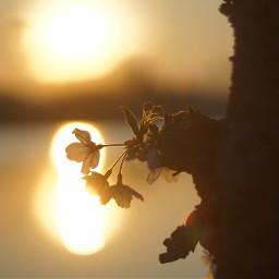 japan nature cherryblossom sunset