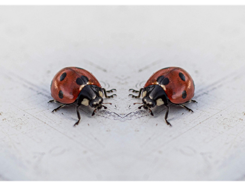 #freetoedit #mirror #ladybug