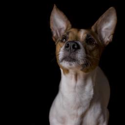 jackrussell livorno dog love animaleye pchomebuddies homebuddies