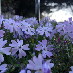 freetoedit purple spring floralbackgrounds blooming